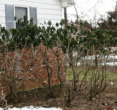 Untreated Rhododendron